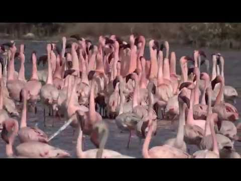 Watch the beautiful courtship dance of Thane's flamingoes in a sanctuary now dedicated to these birds