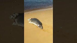 Морской котик на пляже г. Онега