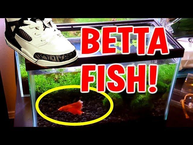 BABYSITTING A BETTA FISH!!!