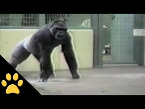 Kaarten met apen, In this awesome video compilation, apes