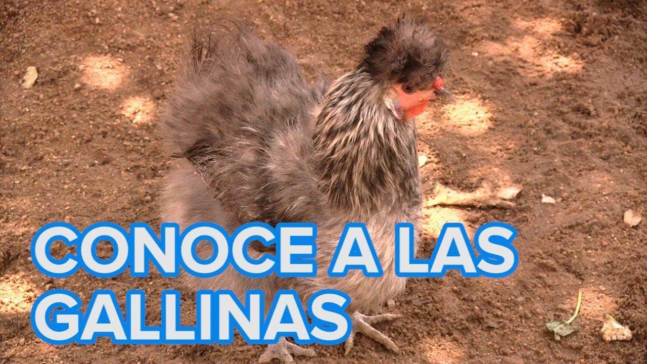 Cómo viven las gallinas. Vídeos de animales para niños