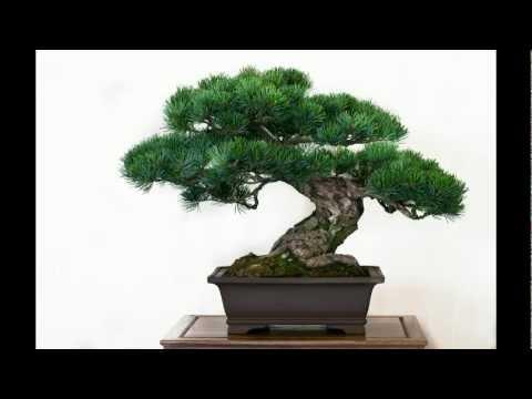 Die besten 50 Bonsai-Bäume