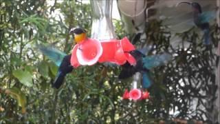Kolibříci v Jardin de Balata, Martinik
