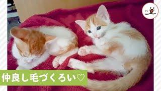 一緒に毛づくろい💕 仲良し子猫2匹🐱【PECO TV】   Kholo.pk