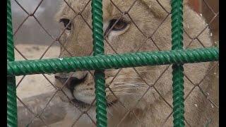 Сафари-парк «Тайган» примет новую обитательницу: В Крым с Урала перевозят львицу Лолу