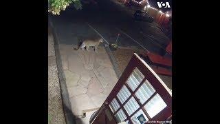 Sư tử lang thang vào nhà nghỉ ở Colorado (VOA)