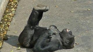 Смотреть онлайн Как развлекаются гориллы, когда на них не смотрят