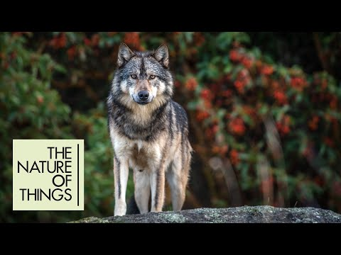 A solitary wolf living against the odds off Vancouver Island | The Nature of Things (2019)