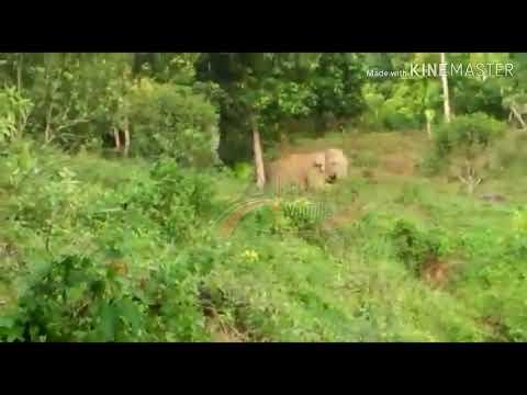 Cubo_Gajah liar tertangkap kamera HP Petani.