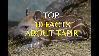 Top 10 Tapir Facts   Amazing True Facts About Tapirs