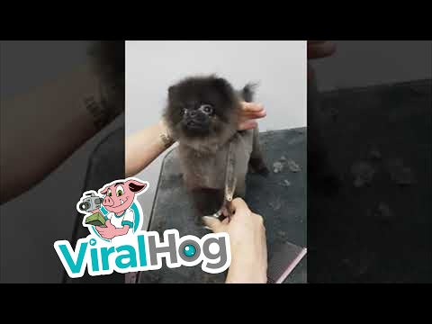 Delightful Dog Dances While Being Groomed