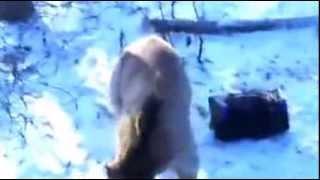 Смотреть онлайн Медведь загнал охотников на дерево и угнал машину