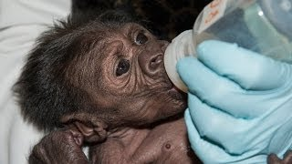 Baby Gorilla Reunited With Family