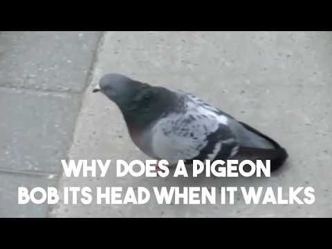 , title : 'Why Do Pigeons Bob Their Heads When They Walk