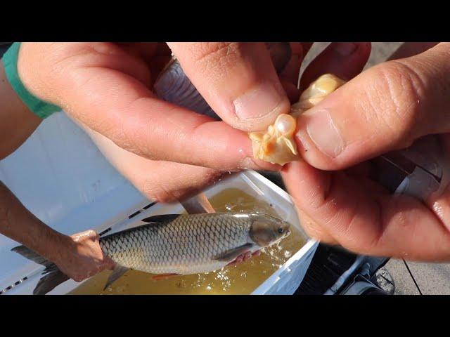 FISH HEIST $5000 Reward For Wild PEARL CAPTURE!