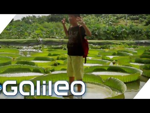 Die größten Pflanzen der Welt   Galileo Lunch Break