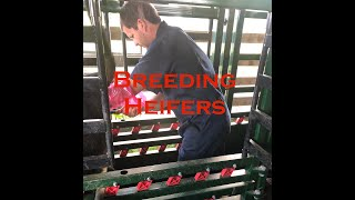How to Breed A Heifer - Artificial Insemination