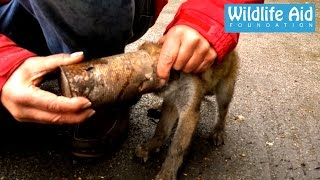 Rescue of a Fox Cub with head stuck in a tin can