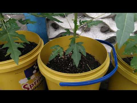 Growing Papaya in containers Part 2 (Pruning/Topping to keep them short)