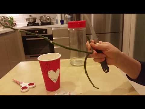 Orkide dalından keiki elde etme denemesi (how to get the keiki from orchids branch)