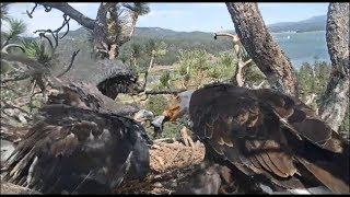 Big Bear Eagles ~ *FOOD FIGHT! BEST TUG-O-FISH* Simba Vs. Shadow & SIMBA WINS w/ SLO MO 8.3.19