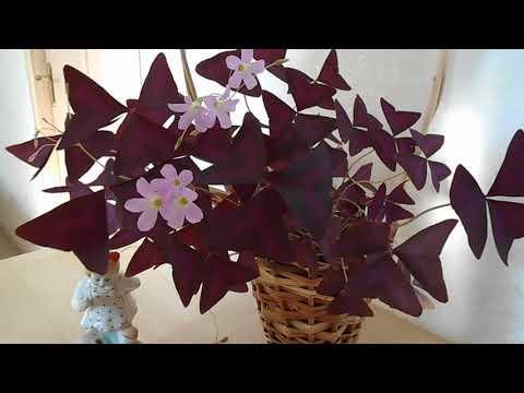 Цветок счастья кислица уход в домашних условиях: видео. Цветок бабочка. Цветок любви. Оксалис.