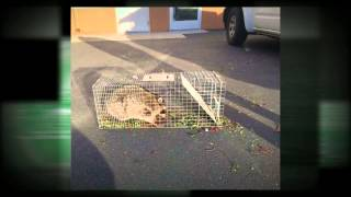 preview picture of video 'Rodent Removal Hanford CA 93230 Animal Trapping Rats In Attic'