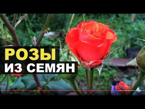 Розы из семян. Как это?
