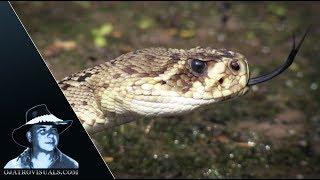 Rattlesnake Stalks Alligator Hatchlings 01