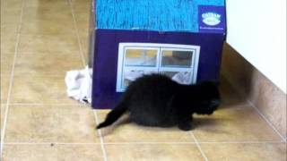 Kittens playing with Catsan Cardboard House