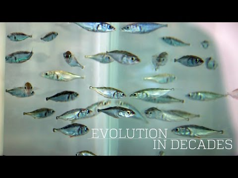 These Fish Went From Saltwater To Freshwater In Just Fifty Years