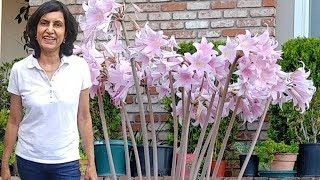 Growing Belladonna Or Pink Amaryllis Or Naked Lady From Bulbs - Part 1 With Actual Results