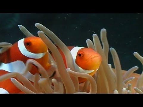Anemonenfische / Clownfish, Nemo, div., Middel Reef,Safaga,Ägypten