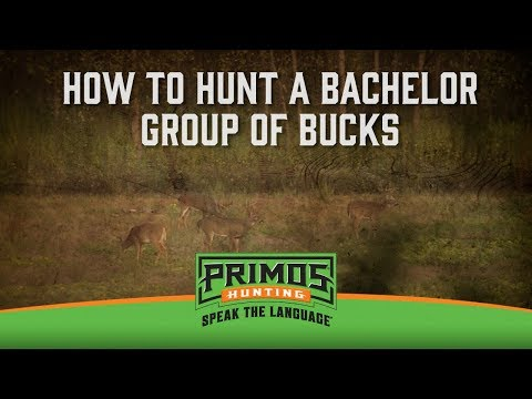 How to Hunt a Bachelor Group of Bucks video thumbnail