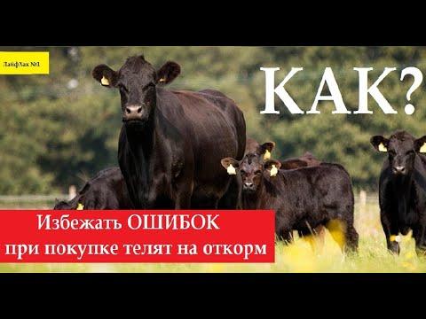 ОШИБКИ при покупке телят! Откорм бычков на мясо как бизнес, рацион кормления быков, подсосные телята