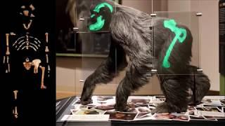 Lucy the Australopithecus: Missing Link or Extinct Ape? (German Deutsch Version)