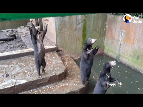 Starving Bears Beg Tourists For Food At Worst Zoo Ever | The Dodo