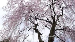 枝垂れ桜の動画素材, 4K写真素材