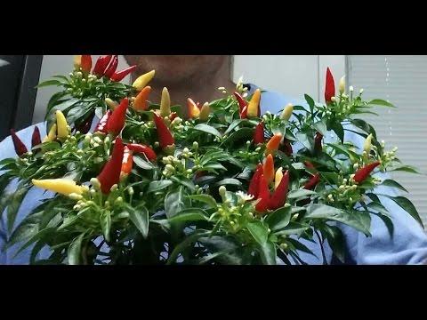 , title : 'Ornamental Pepper Plants