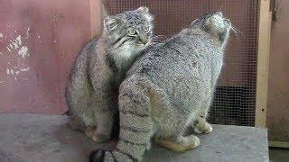 じゃれあうマヌルネコの子供たち(埼玉県こども動物自然公園)Pallas's Cat Cubs