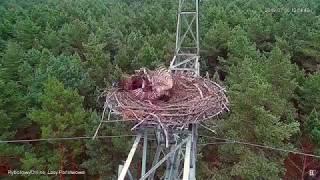 Jastrząb rujnuje gniazdo rybołowa~Ястреб разоряет гнездо скопы
