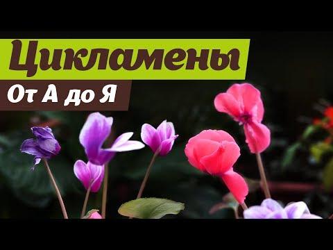 Выращивание цикламенов  От посева до цветения