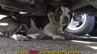 Download Youtube: Pit Bull with bleeding tumors surrenders to rescuer and then gives him a kiss  :-)