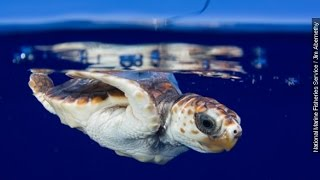 What Happens During Baby Sea Turtles Lost Years