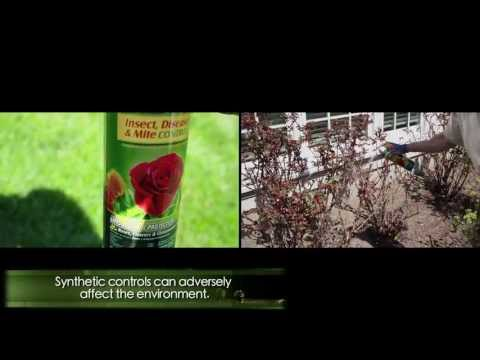 Video Black spot rose disease: Prevention and cure