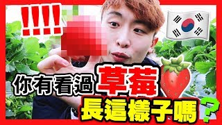 【😱嘩嘩嘩】🍓你有見過草莓「長成這樣」嗎!?😍草莓控的天堂啊!(中字)