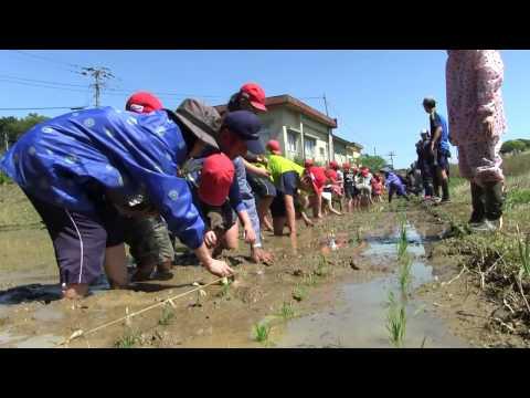 種子島の学校活動:国上小学校もち米田植え体験!2017年