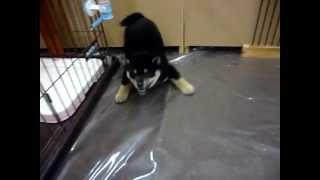 日本犬といえば柴!丸顔がたまりません♪♪