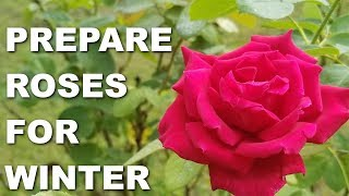 How to Prepare Roses for Winter