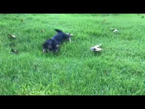 Sophie the Yorkshire Terrier